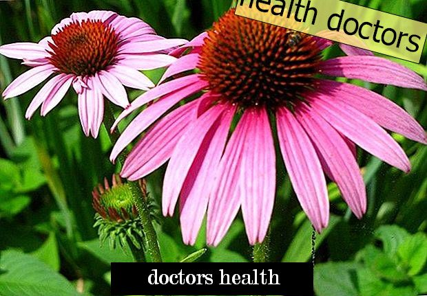Echinacea will not help overcome the cold - scientists